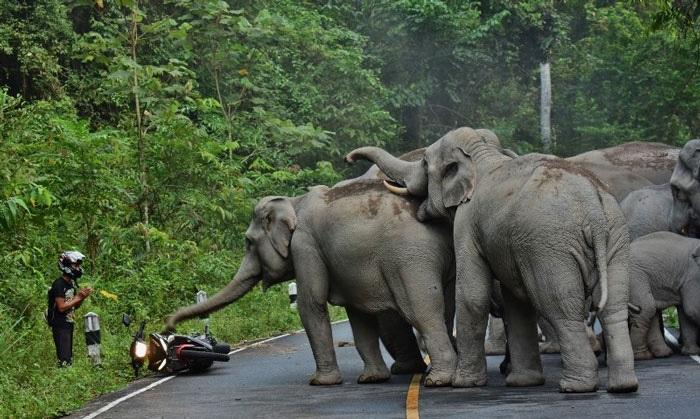Tayland'da filleri rahatsız ettiği için onlardan özür dileyen adam